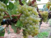 В Кахетии стихия уничтожила 40 процентов урожая. 21066.jpeg
