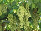 Минсельхоз: Виноград будут принимать 32 завода Сакартвело. 21187.jpeg