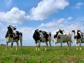 Грузинские коровы против властей. 28372.jpeg
