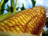 Глава Минсельхоза отчитался о кукурузе.