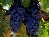 Манджгаладзе: сбор винограда перешел в активную фазу.