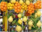 Citrus from Georgia may appear in Russia. 24667.jpeg