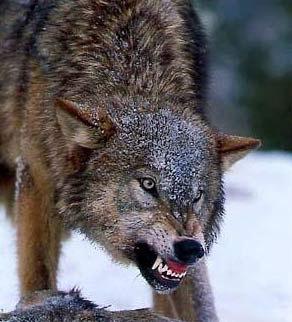 Как аварцы использовали волков
