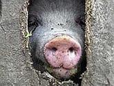 Свиной грипп оказался ангиной, а украинка - Синицей