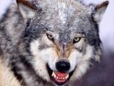 Грузинам надоела волчья жизнь