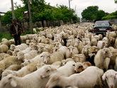 Заблудшие овцы не добежали до Баку