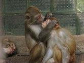Обезьянам в Сухуме прикажут долго жить