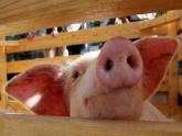 Минсельхоз подложит всем свинью