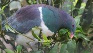 Голубь-алкоголик  стал птицей года в Новой Зеландии