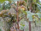 Виноградный бунт в Сакартвело