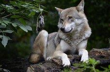 В Волгограде мужчина приютил у себя волка